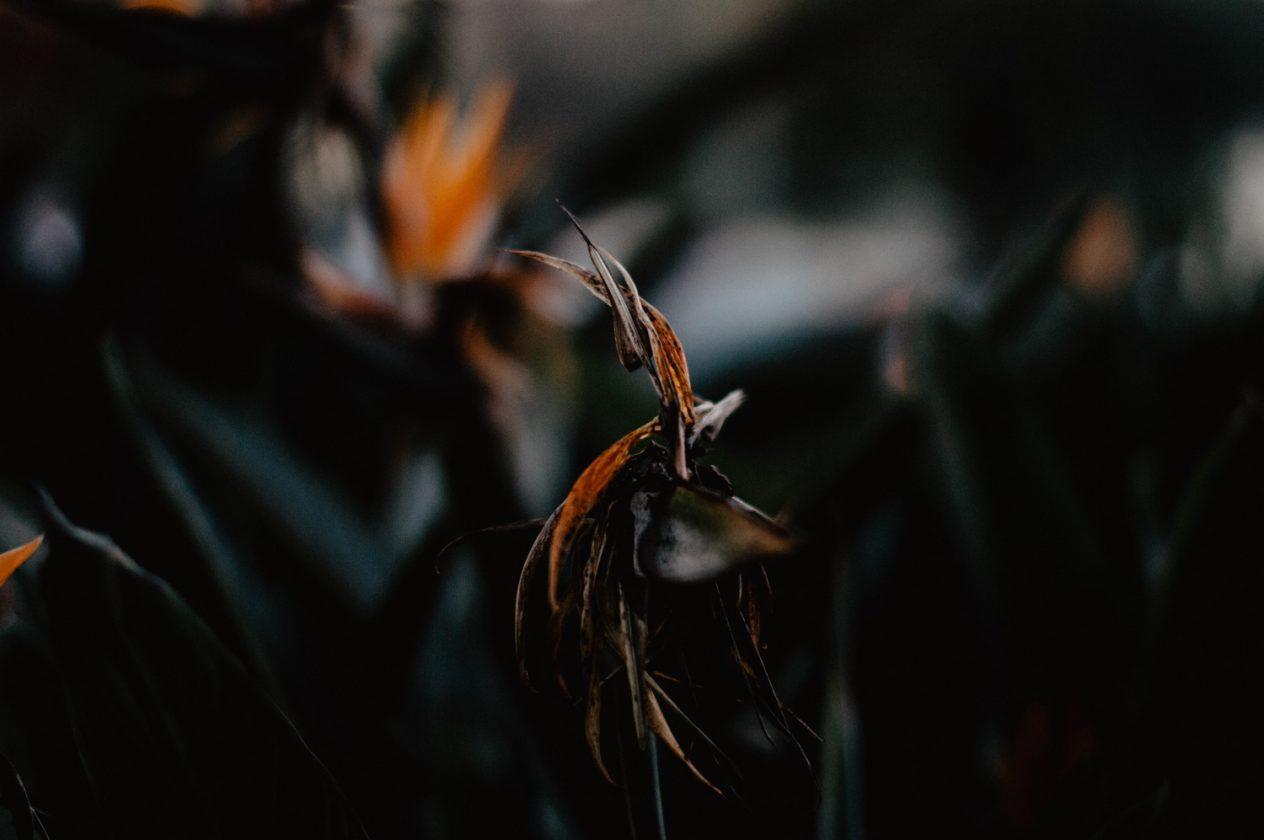 Daisy Ranoe - bloemen fotografie natuur paradijsvogelbloem